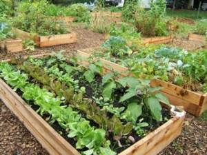 community_garden raised beds